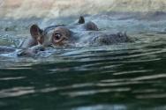 32 hippo ballet