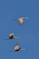 09 3 More Sandhill Cranes Cropped