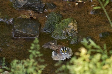 03 White-throated sparrow post-bath