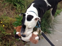07 Tisen Takes Eddie and Minnie for a walk - iPhone