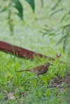 01 Brown Thrasher