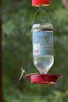 02 Female ruby-throated hummingbird