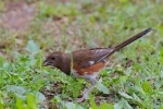 09 Female Eastern Towhee