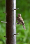 15 Female House Finch