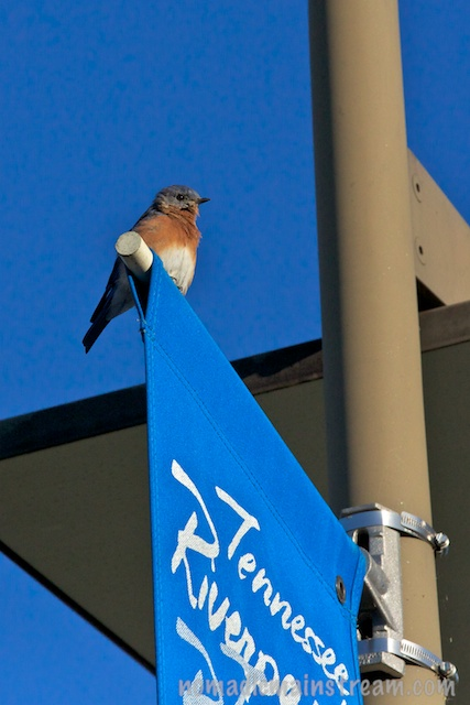 This Eastern Bluebird--a harbinger of luck and happiness