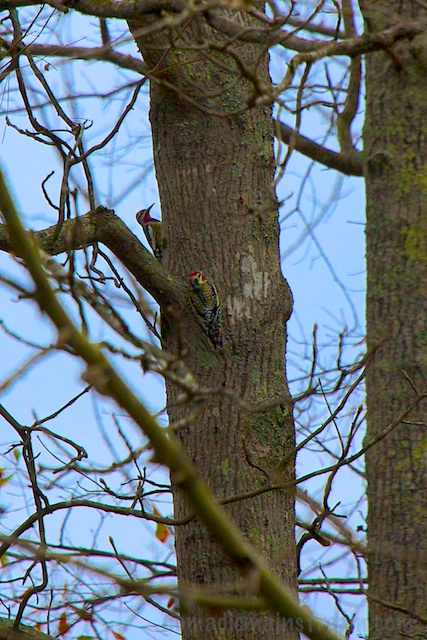 The only thing better than a Yellow-bellied Sapsucker is two of them.