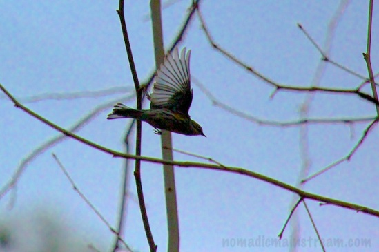 Not 100% sure, but I think this was a yellow-rumped warbler flying away.