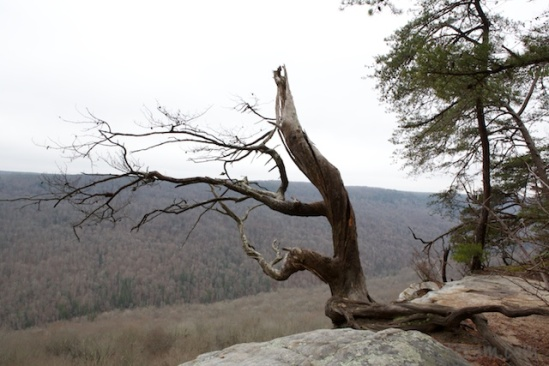 This tree seems to have given up the ghost, but it still clings cliffside