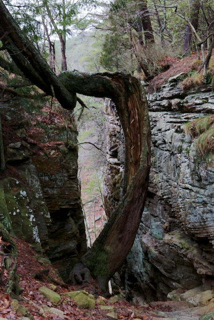 This crazy tree marks the entrance to the Stone Door