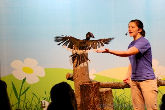 The Trumpeter Hornbill returns to its handler after flying across the room