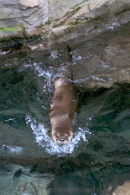 This playful otter had quite a routine established--he used every inch of his tank that simulated a rushing river