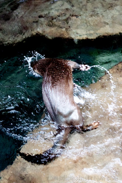 The Otter takes a spinning leap as he makes a dramatic dive back into the water