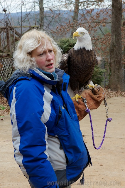 Atsa Yazi, the littlest eagle, is a small male Bald Eagle who was shot when he was only a year old, costing him his wing