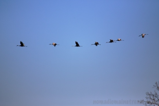 A small flock of sandhill cranes flying overhead