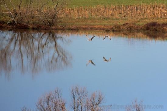 Reflected cranes at Hiwasee Refuge