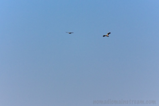 Circling Eagle and Hawk