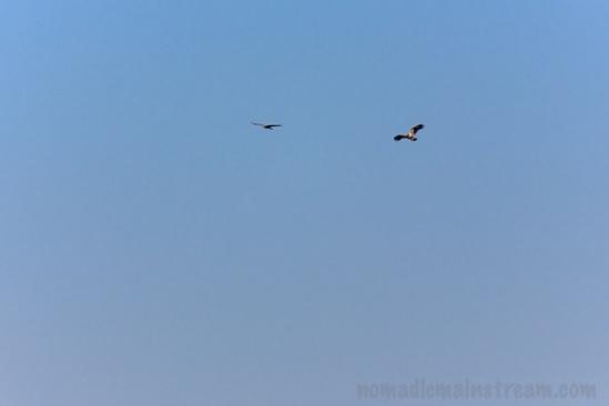 Circling Eagle and Hawk