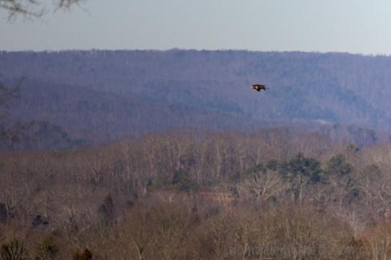 Bald Eagle over Hiwassee Refuge