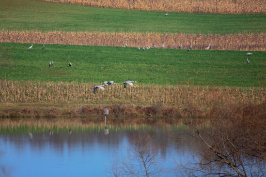 Sandhill Cranes on the bank