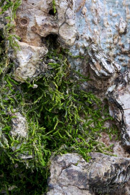 Moss neatly tucked into bark