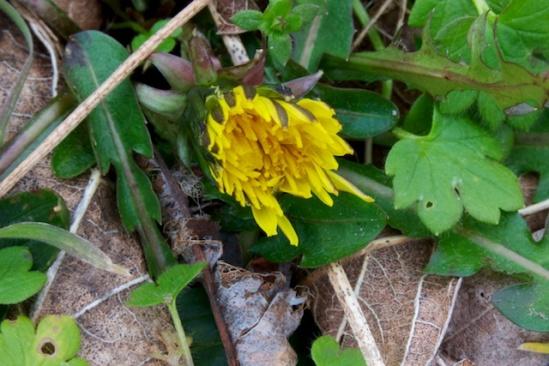 Dandelion in half-bloom