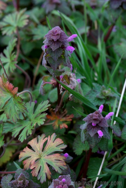 More purple deadnettle