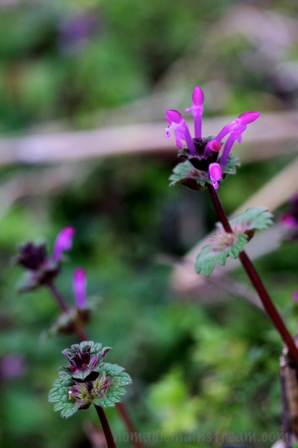 Henbit Deadnettle from the side