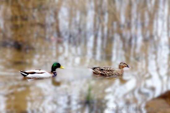 "Playing with the ""blur"" brush, I applied it to the whole photo and then erased the blur where the ducks were.  I'm not really a fan of this look."