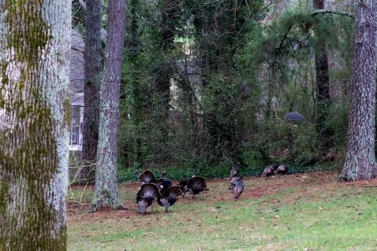 Wild turkey toms doing their best to attract a mate