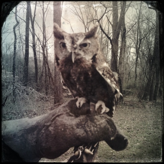 Jerry, an Eastern Screech Owl, Hipstamatized