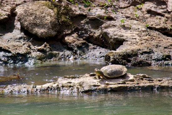 Much easier to shoot, this turtle basked in the sun
