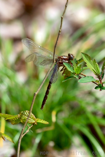 This dragonfly (or is it a damselfly?) appeared to be depositing eggs, but we weren't sure