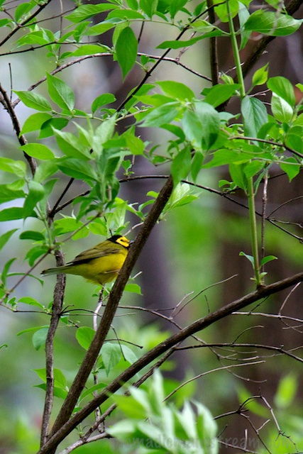 One of the more exciting sightings of the day--the Hooded Warbler