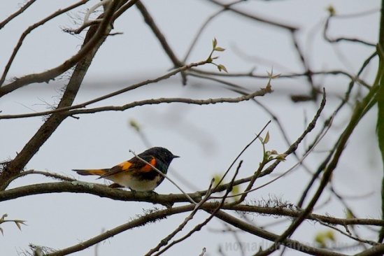 Another favorite that turned up--an American Redstart