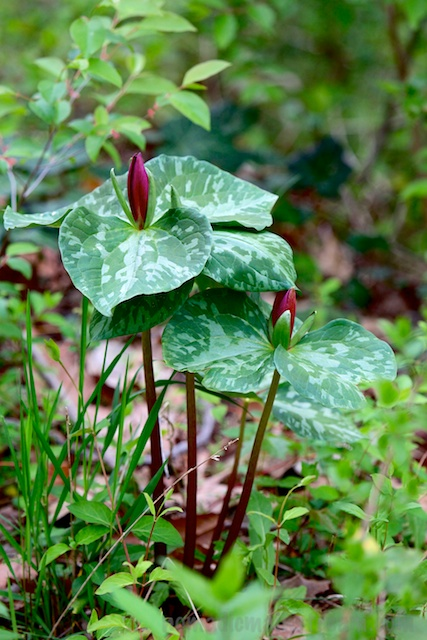 A large variety of Trillium whose name I don't recall
