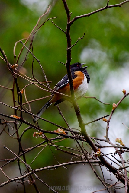 A singing Eastern Towhee may not be the most unusual sight in Tennessee, but this was the best picture I got of the day