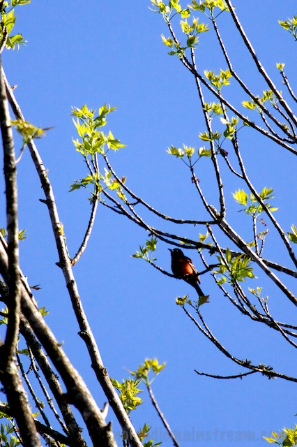 If this guy had moved just  a bit more, you would be able to tell he's a beautiful Orchard Oriole