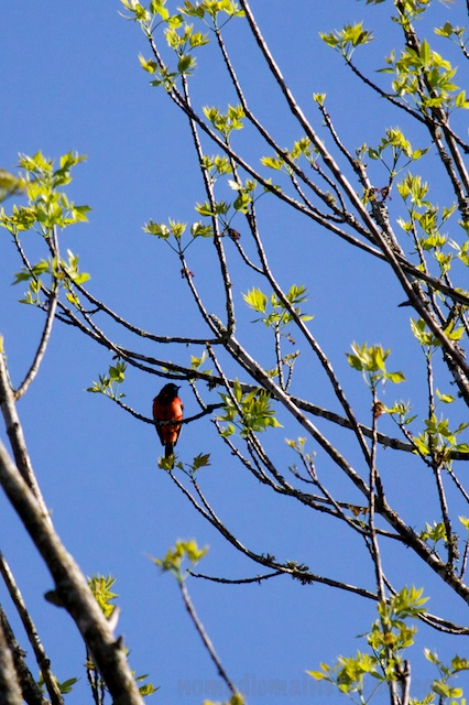 Still not optimally lit, this male Orchard Oriole impressed us with his song