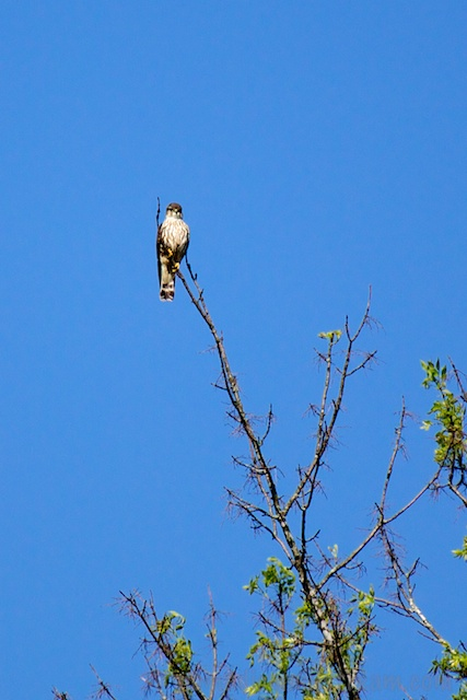 Spotting the Merlin at the end of a very thin-looking tree branch