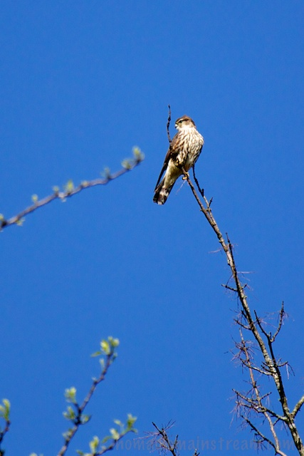 The Merlin seems to be testing the wind as he twists about, thinking about flying