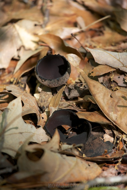 This is not a broken, black ping pong ball but rather a common fungus