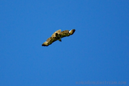 An immature red-tailed hawk sends us on our way
