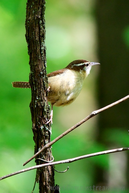 One of the best wren shots I've managed to capture--this little guy posed about 6 feet away from me
