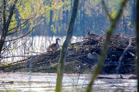 Beavers created the wetland dams--but we only found Canada Geese