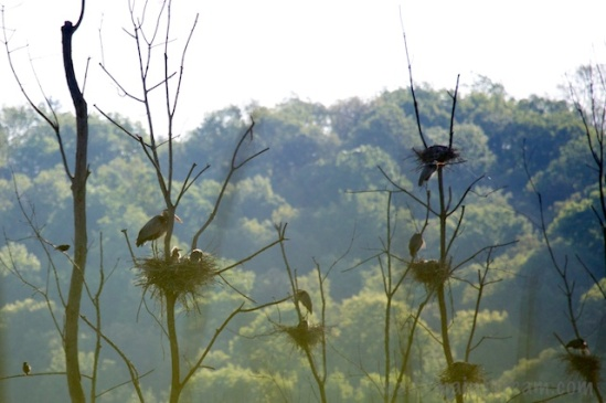 A small portion of the heron rookery over the VW Wetland