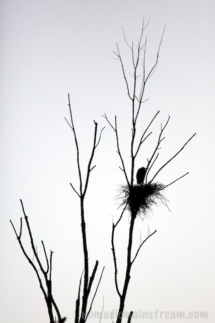 One lone heron in silhouette on its nest
