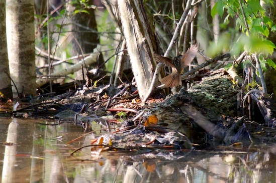 A Swamp Sparrow flitting by the edge of the wetland