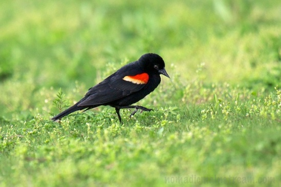 A Red-winged Blackbird takes a stroll in the grass
