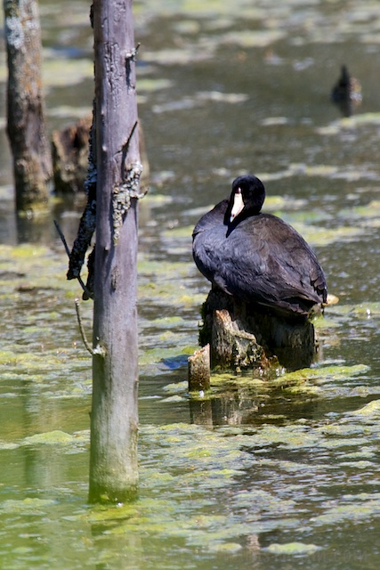 A roosting coot