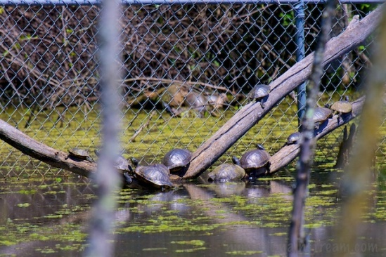 Turtles trying to escape over the fence